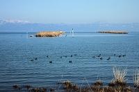 滋賀県 琵琶湖湖岸葦の栽培所