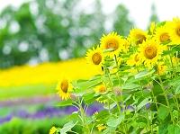 北海道 ひまわりと花畑