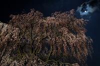 栃木県 月と西行桜