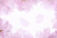 サトザクラの花びら