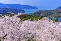 愛媛県 桜咲く開山公園より瀬戸内海の島々