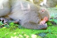 鹿児島県 屋久島の猿
