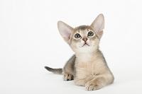 アビシニアン 伏せている子猫