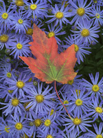 シオンとカエデの葉