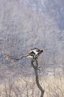 北海道 湿原のオオワシ止まり木