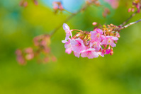 河津桜 東京