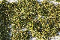 兵庫県 柿の葉の乾燥