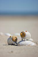 砂浜の貝殻と戯れる森ビトのトッコ