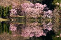 長野県 中綱湖のオオヤマザクラ