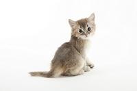 ソマリ 横を向いて座っている子猫