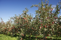 北海道 リンゴ園