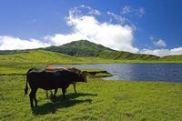 草千里ヶ浜、赤牛と黒毛和牛