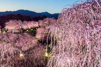 三重県 枝垂れ梅咲く鈴鹿の森庭園