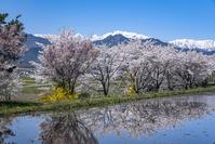 長野県 桜と雪山