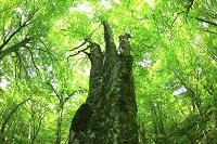 青森県 白神山地 新緑のブナ原生林