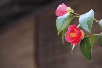 京都府 祇園 椿の花とお茶屋のすだれ