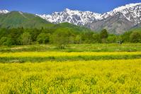長野県 キガラシと五竜岳
