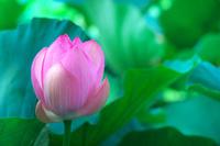 神奈川県 鎌倉市 蓮の花