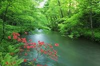 青森県 ツツジと奥入瀬渓流