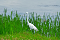 4月 多気(たき) 栃ヶ池 ダイサギ