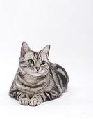 伏せて見つめている猫
