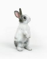 立ち上がるポーズのウサギ