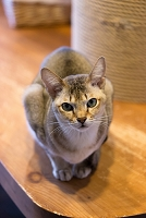 猫 シンガプーラ
