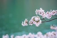 滋賀県 海津大崎の桜