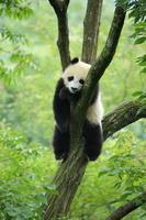 木登りパンダ
