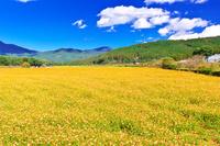 日本 山梨県 花の都公園の黄花コスモス