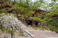 春の金堂 神護寺 洛西 京都