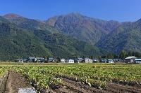 福井県 上庄の里芋の収穫と荒島岳(越前富士)