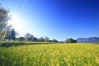 長野県 飯山市 菜の花公園と朝の光と寄楽舎と高社山