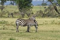 ケニア グラントシマウマの授乳