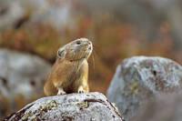 北海道 エゾナキウサギ