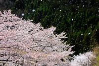 滋賀県 桜と花吹雪