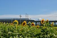 岐阜県 新幹線とひまわり