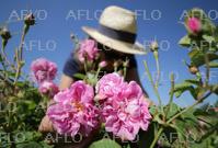 仏で収穫のセンティフォリアローズ 香水などに加工