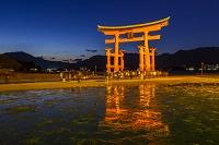 広島県 厳島神社の大鳥居ライトアップ