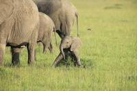ケニヤ アンボセリ国立保護区 はしゃぐ子ゾウ
