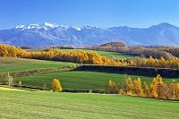カラマツの黄葉と大雪山連峰 美瑛 北海道