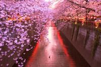 東京都 目黒川の桜並木夜景