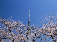 東京都 春の隅田公園