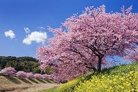 静岡県 みなみの桜と菜の花 青野川
