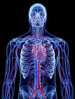 人間の心臓血管