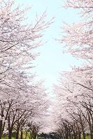 静岡県 桜並木と青空