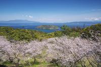 鹿児島県 魚見岳自然公園の桜と知林ヶ島