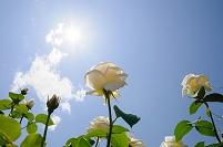 陽光を浴びるバラ