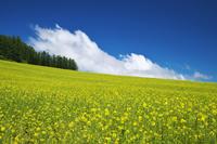 北海道 ふらのぶどうヶ丘公園の菜の花