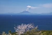 鹿児島県 魚見岳自然公園の桜と桜島の噴煙